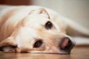 hardwood flooring and pets