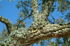 Cork Tree and Wicanders Cork Flooring Review